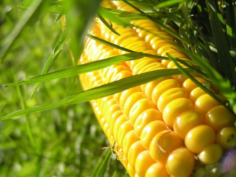 Россия начала экспорт кукурузы во Вьетнам